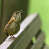 Carolina Wren (Thryothorus ludovicianus)